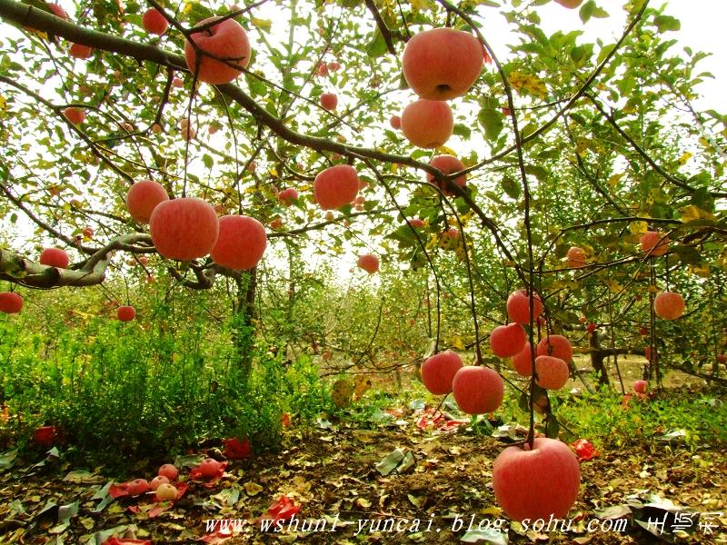 苹果树成长过程图片_苹果的生长过程_苹果树的生长过程_苹果生长过程_淘宝助理