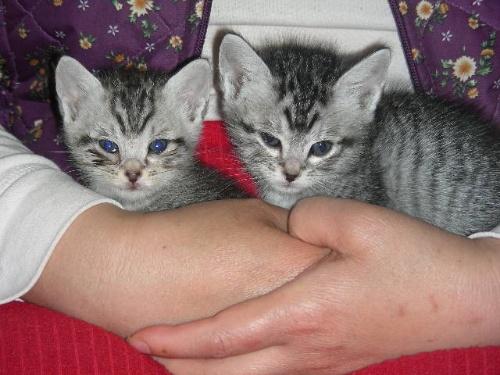 蓝眼睛虎斑——可爱度pk豹猫