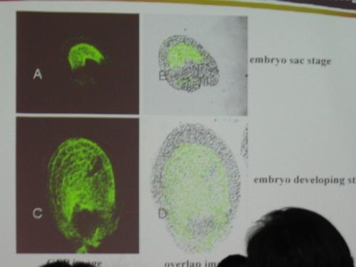 图中显示的油菜种子胚gus染色