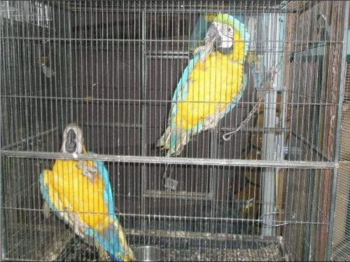 现在动物园中比较出名的是红蓝金刚鹦鹉,产于墨西哥到巴西南部地区