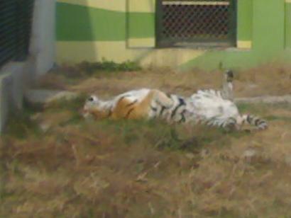 典型的猫科动物睡姿