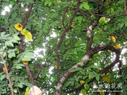 杨桃树寄生 图片合集