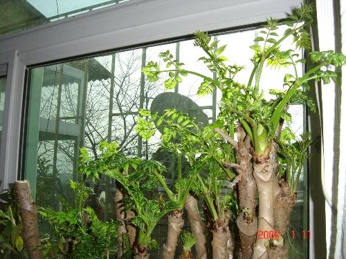 刺嫩芽种植方法