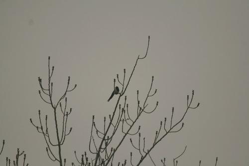一只可爱的小喜鹊在觅食