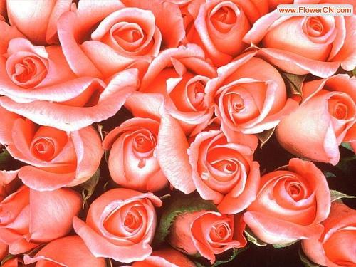 漂亮的玫瑰花背景图 PS模板,另外增加3张用这些背景图PS的范例,大家一起交流学习