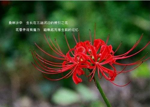 绿色彼岸花 花语是什么 跟红色彼岸花的话一样吗