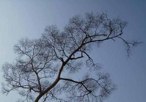 2008年---屋后的苍天大树