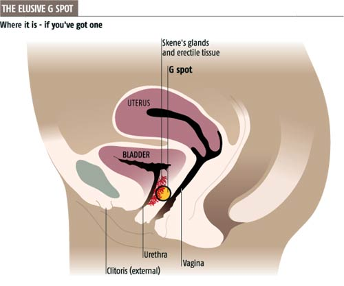 scientists 39 row over g spot nears a climax  : gspot diagram - findchart.co