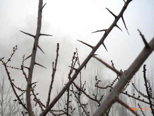杏树什么时候发芽