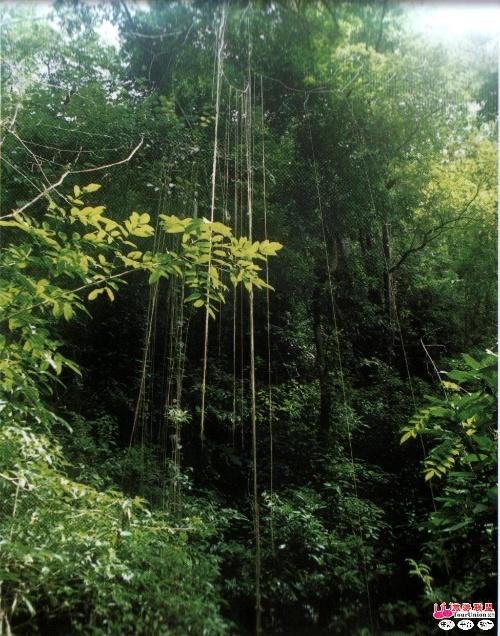十大自然奇象之第二名 热带雨林