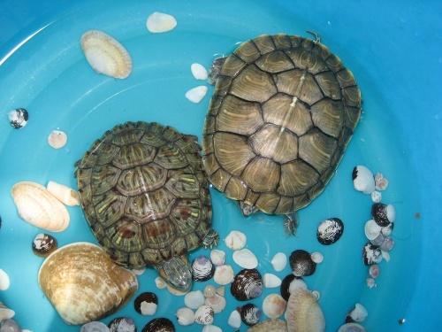 都不知道怎么区分乌龟的公母. -巴西龟公母分辨图片 巴西龟咋分公母图片